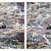 Wildlife in Denali